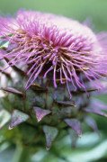 Cynara cardunculus, Cardoon by Carol Sharp