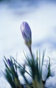 Crocus, Crocus by Carol Sharp