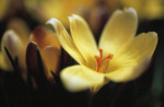 Crocus chrysanthus, Crocus by Carol Sharp