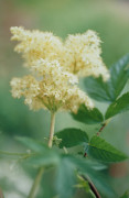 Filipendula ulmaria, Meadow sweet by Carol Sharp