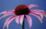Echinacea purpurea, Purple coneflower by Carol Sharp