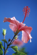 Hibiscus rosa-sinensis, Hibiscus by Carol Sharp