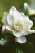 Gardenia augusta, Gardenia by Carol Sharp