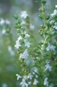 Satureia hortensis, Savory - Summer savory by Carol Sharp