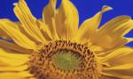 Helianthus annus, Sunflower by Carol Sharp
