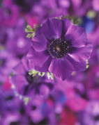 Anemone, Anemone by Carol Sharp