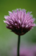 Allium schoenoprasum, Chive by Carol Sharp