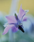 Borago officinalis, Borage by Carol Sharp