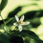 Citrus bergamia, Bergamot - Citrus by Carol Sharp