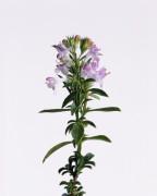 Satureia montana Savory - Winter savory
