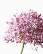 Allium aflatunense Allium