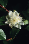 Myrtus communis, Myrtle by Carol Sharp