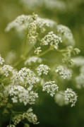 Myrrhis odorata, Sweet cicely by Carol Sharp