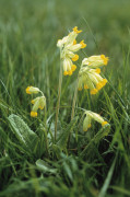 Primula veris, Cowslip by Carol Sharp