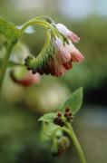 Symphytum 'Hidcote Pink', Comfrey by Carol Sharp