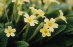 Primula vulgaris, Primrose by Carol Sharp