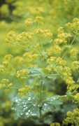 Alchemilla mollis, Lady's mantle by Carol Sharp