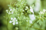 Anthriscus cerefolium, Chervil by Carol Sharp