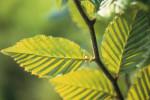 Carpinus betulus, Hornbeam by Carol Sharp