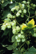 Humulus lupulus, Hop by Carol Sharp