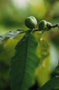 Coffea arabica, Coffee by Carol Sharp