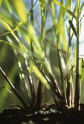 Cymbopogon citratus, Lemon grass by Carol Sharp