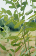 Glycyrrhiza glabra, Liquorice by Carol Sharp