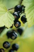 Ribes nigrum, Currant - Blackcurrant by Carol Sharp