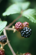 Rubus ulmifolius, Blackberry by Carol Sharp