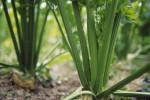 Apium graveolens, Celery by Carol Sharp