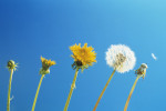 Taraxacum officinale, Dandelion by Carol Sharp