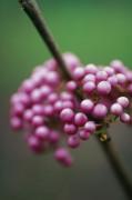 Callicarpa bodinieri Beauty berry