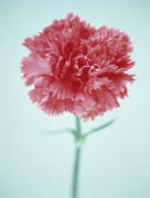 Dianthus, Pink by Cunningham -Waterman