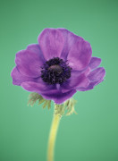 Anemone, Anemone by Cunningham -Waterman