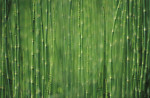 Equisetum fluviatile, Horsetail - Water horsetail by Duncan Smith