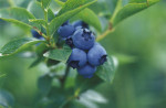 Vaccinium 'Patriot', Blueberry by Duncan Smith
