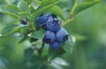 Vaccinium 'Patriot' Blueberry