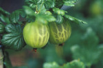 Ribes uva-crispa 'Broomgirl' Gooseberry