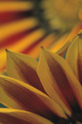 Arctosis, African daisy by Dave Tully