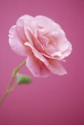 Rosa 'Sexy Rexy', Rose by Dave Zubraski