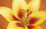 Lilium, Lily by Dave Zubraski