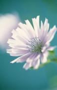Cichorium intybus, Chicory by Dave Zubraski