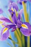 Iris, Iris by Ewa Ohlsson