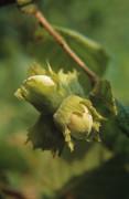 Corylus avellana Hazel Cob-nut
