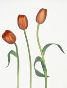 Tulipa, Tulip by Gill Orsman