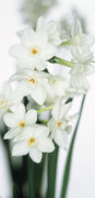 Narcissus, Daffodil by Gill Orsman