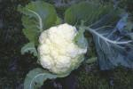 Brassica oleracea botrytis, Cauliflower by Ines Roberts