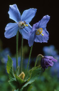 Meconopsis grandis, Himalayan blue poppy by Jonathan Buckley
