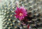 Mammillaria, Cactus - Pincushion cactus by Jo Hansford
