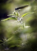 Dragonfly resting on leaves by Mirrorpix